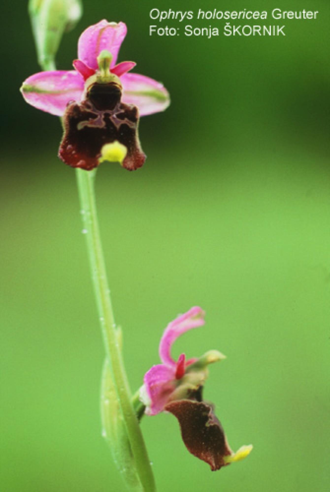 3.2A_Ophrys-holosericea-macje-uho