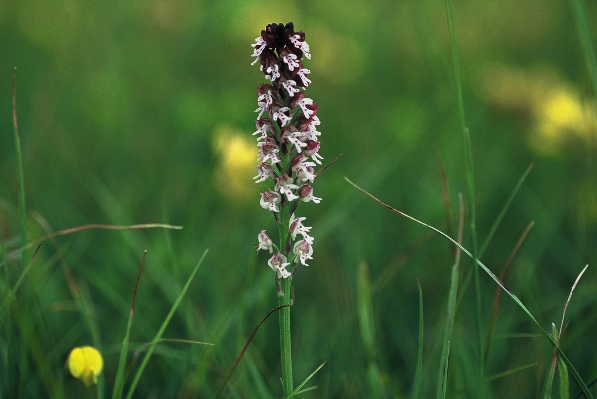 3.2A_Orchis-ustulata-pikastocvetna-kukavica