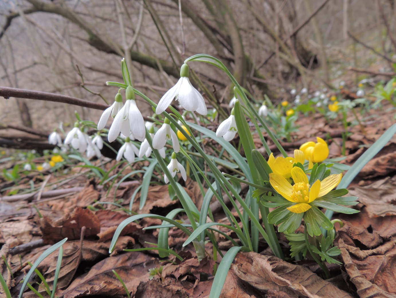 Galanthus-nivalisErantis-hyemalisPodsreda2015_02_27_M