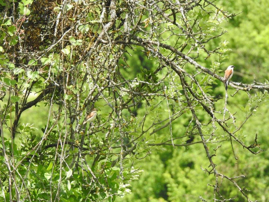 rjavi-srakopeer-samec-in-samica2