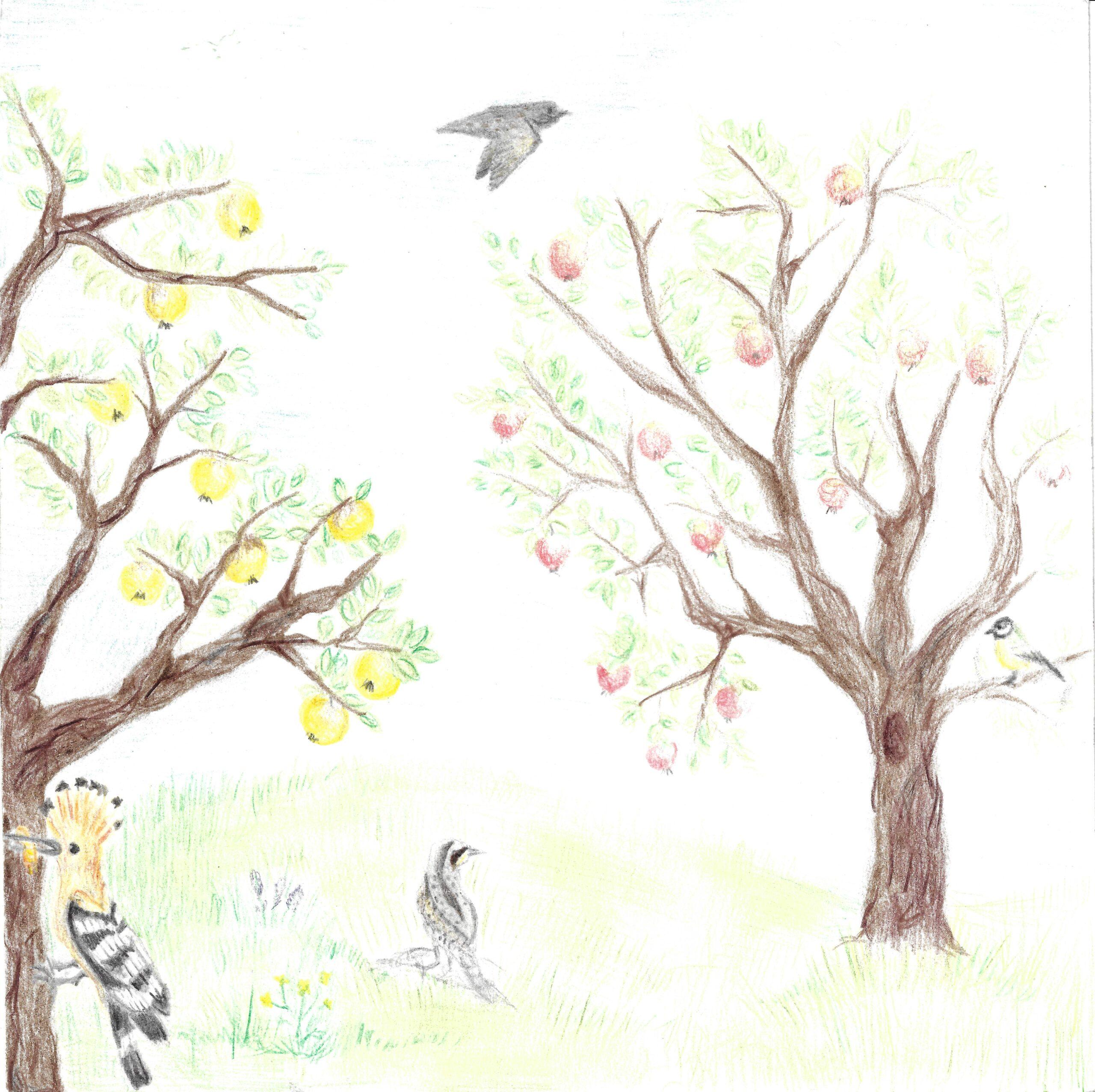 Klara-Šergon-7.r.-OŠ-Lesično-risba-na-naslovni-strani-knjižice-zgodba-o-pticah-v-visokodebelnih-sadovnjakih-scaled